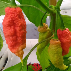 Jay's Ghost Scorpion Red -Capsicum Chinense