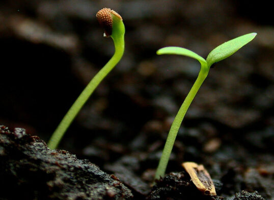 Peperoncini piccanti - germinazione e fase vegetativa