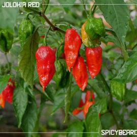 Bhut Jolokia Red