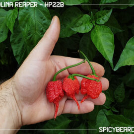 Carolina Reaper - HP22B - Capsicum Chinense