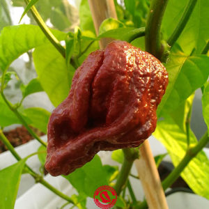 Douglah Brown - Capsicum Chinense
