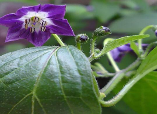 fioritura-peperoncini-capsicum-pubescens