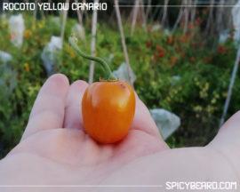peperoncino Rocoto Yellow Canario - Capsicum Pubescens