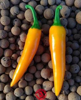 Bulgarian Carrot - Capsicum Annuum