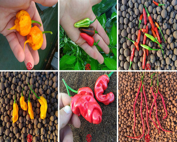 Semi isolati peperoncini piccanti - i più particolari