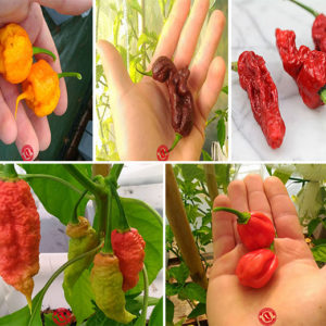 Semi isolati peperoncini piccanti collezione super hot 50 semi
