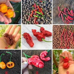 Semi peperoncini piccanti - collezioni mista 90 semi isolati
