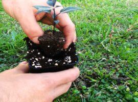 Rinvasare le piante di peperoncino