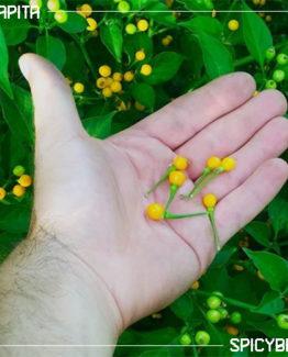 Peperoncino piccante Aji Charapita - Capsicum Chinense