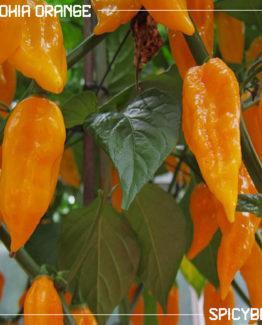 Peperoncino piccante Bhut Jolokia Orange - Capsicum Chinense