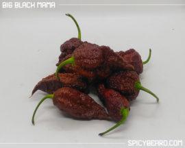 Peperoncino piccante Big Black Mama - Capsicum Chinense
