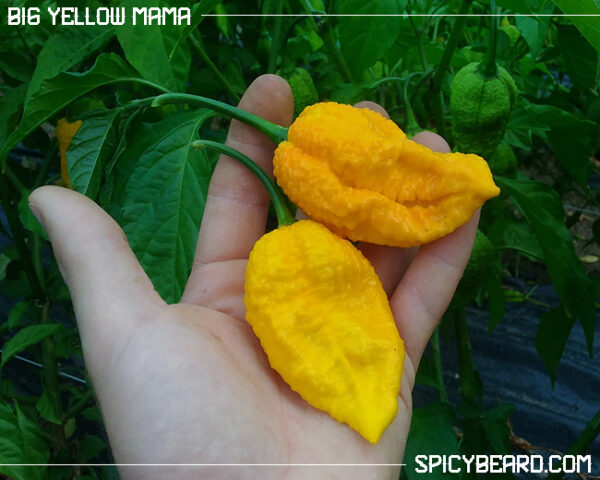 Peperoncino Big Yellow Mama - Capsicum Chinense