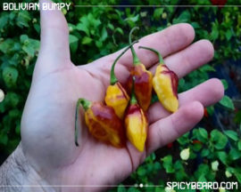Peperoncino piccante Bolivian Bumpy - Capsicum Chinense