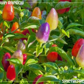 Peperoncino piccante Bolivian Rainbow - Capsicum Annuum