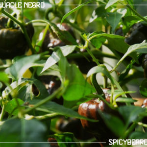 Peperoncino piccante Chilhuacle Negro - Chile Huacle