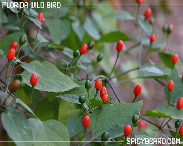 Peperoncino Piccante Florida Wild Bird - Capsicum Annuum Wild