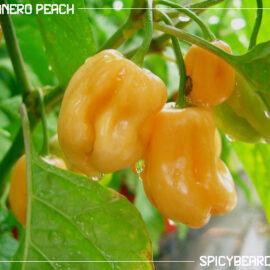 Peperoncino Piccante Habanero Peach - Capsicum Chinense