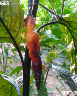 Peperoncino Piccante Orange Tiger - Capsicum Chinense