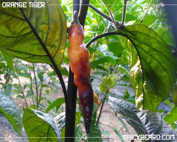 Peperoncino Piccante Orange Tiger - Capsicum Chinense