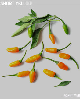 Peperoncino Short Yellow Tabasco - Capsicum Annuum