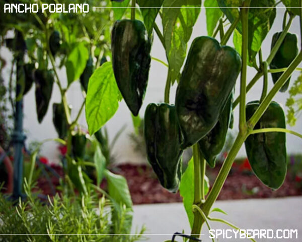 Peperoncino piccante Ancho Poblano - Capsicum Annuum