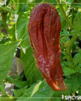 Peperoncino Piccante Black Naga - Capsicum Chinense