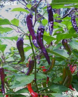 Peperoncino Piccante Cayenne Purple - Capsicum Annuum