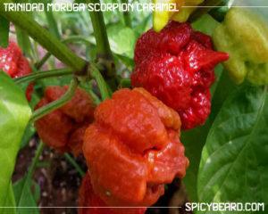 Peperoncino Piccante Trinidad Moruga Scorpion Caramel - Capsicum Chinense