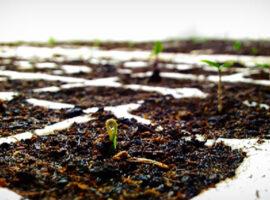 Coltivazione-peperoncini-piccanti-indoor-in-growbox-