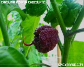 Peperoncino Piccante Carolina Reaper Chocolate