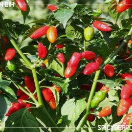 Lotah Bih - Lotahbih Jolokia - Capsicum Frutescens